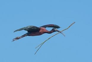 Mignattaio, parco Nazionale del Coto Doñana, Andalusia, Spagna - (Glossy Ibis , Doñana National Park, Andalusia, Spain)