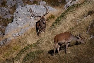 Cervo, Parco Nazionale d'Abruzzo  - (Stag, National Park of Abruzzo, Italy)