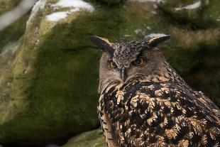 Gufo reale, Bayerischer Wald, Germania - (Eurasian Eagle-Owl,Bayerischer Wald, Germany)