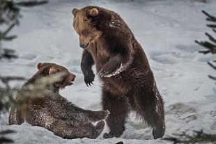 Orso, Bayerischer Wald, Germania - (Brown Bear,Bayerischer Wald, Germany)