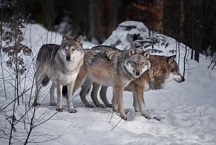 Lupo, Bayerischer Wald, Germania - (Wolf,Bayerischer Wald, Germany)