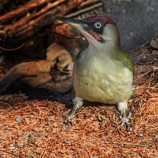 Picchio verde, Trentino- (green woodpecker, Trentino, Italy)