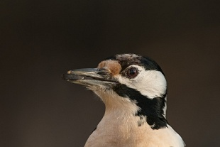 Picchio rosso Maggiore, Oasi di Alviano, Italia - (Great Spotted Woodpecker, Oasis of Alviano, Italy)