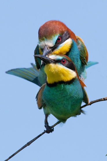 Gruccione, Parco nazionale del Circeo - (Bee-eater, National Parck of Circeo, Italy)