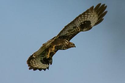 Poiana - (Common Buzzard)