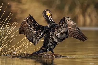 Cormorano - (Cormorant)