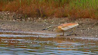 Garza dal ciuffo - (Squacco Heron )