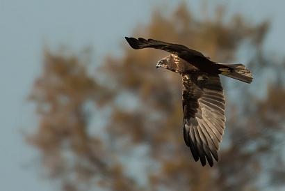 Falco di palude - (Western Marsh Harrier )