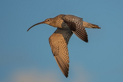 Chiurlo, Parco Nazionale del Circeo - (Curlew, National Park of Circeo, Italy)