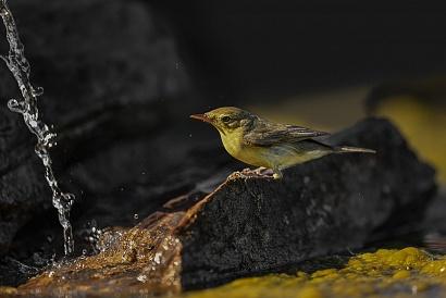 Canapino - (Hippolais polyglotta) - Siamo a nel mese di maggio e in Extremadura fa già molto caldo, ci sono circa 35 gradi, gli uccelli vengono qui all'abbeverata per bere ma anche per rinfrescarsi. Infatti quasi tutte le specie che ho fotografato hanno fatto il bagnetto.