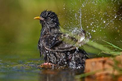 Storno che fa il bagnetto