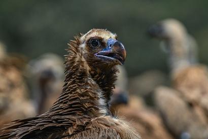 Avvoltoio monaco - (Aegypius monachus) - Questo avvoltoio ha una aperura alare di 250 - 285cm. è in forte declino, in Europa restano circa 1.000 coppie (prevalentemente in Spagna. In Italia è praticamente estinto anche se ultimamente ci sono stati alcuni avvistamenti.