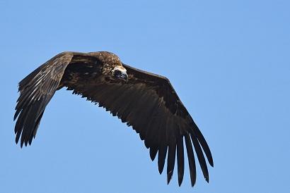 Avvoltoio monaco - (Aegypius monachus) in volo volo sopra il capanno