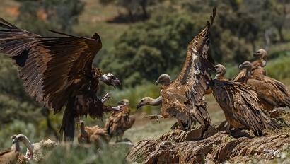 avvoltoi - Un grosso avvoltoio monaco si unisce al gruppo di grifoni per accaparrarsi anche lui qualche brandello della grossa capra