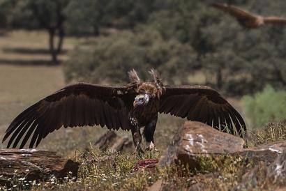 Avvoltoio monaco - (Aegypius monachus) - l'avvoltoio si avvicina alla preda