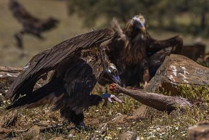 Avvoltoio monaco - (Aegypius monachus) - l'avvoltoio monaco ha individuato una grossa zampa e la sta portando via.