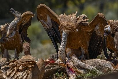 Grifone (Gyps fulvus) - Gli avvoltoi si ammucchiavano intorno alla carogna e infilavano il lungo collo all'interno del corpo strappando le viscere, uno spettacolo crudele, ma la natura funziona cosi. Gli avvoltoi sono saprofagi e si nutrono di carogne.
