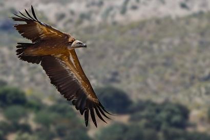 Grifone (Gyps fulvus) - Il divertimento è stato quello di fotografare questi magnifici rapaci al volo con le montagne come sfondo