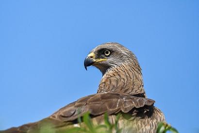 Nibbio bruno - (Milvus migrans) - Ritratto
