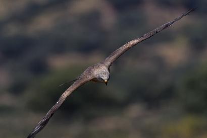 Nibbio bruno - (Milvus migrans) - Questo scatto ritrae un nibbio, ma questa volta lo sfondo è scuro come il bosco in lontananza