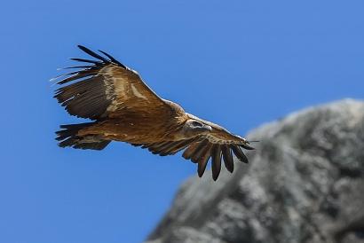 Grifone (Gyps fulvus) - Oggi Max ci ha fatto fare un bel giro panoramico nel Parco naturale del Monfrague fermandosi qui al Salto del Gitano, un posto meraviglioso dove ho potuto fotografare questi meravigliosi rapaci mentre veleggiavano tra le rocce. In questo posto magico abbiamo visto il nido della cicogna nera, il nido del capovaccaio, e l'aquila in cima ad una roccia non alla portata del mio 500mm