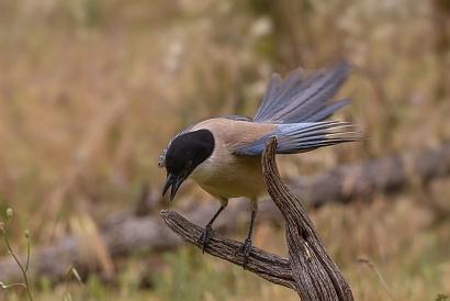 Gazza ali azzurre Iberica - Questo atteggiamento della gazza, ali leggermente aperte, una intensa vibrazione della coda leggermente a ventaglio, è il richiamo con il quale comunica al maschio che è pronta per l'accoppiamento.