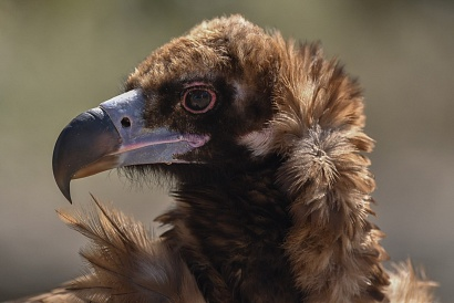 Avvoltoio monaco - (Aegypius monachus) - Primissimo piano