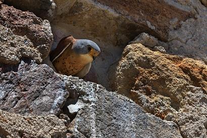 Falco grillaio - Mi trovo in un piccolo paesino di cui non ricordo il nome, nel centro del paesa c'è una chiesa nelle cui pareti hanno creto artificialmente dei fori che sono i nidi di molti falchi Grillai. Questo fatto fa capire quanto questi spagnoli sono sensibili all'ambiente ed alla fauna.
