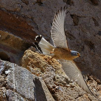 Falco grillaio appena involato dal nido