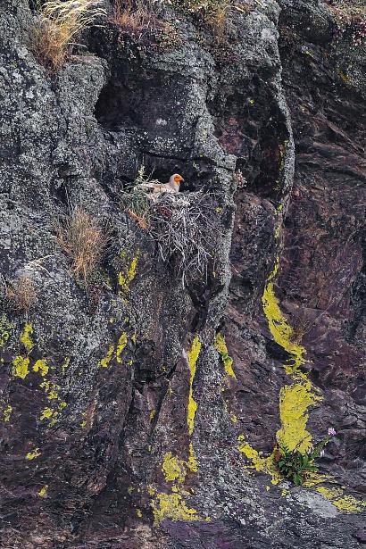 Capovaccaio adulto - (Neophron percnopterus) al Salto del Gitano - Capovaccaio nel suo nido a picco sul fiume Tago. Molto lontano dal mio teleobiettivo.