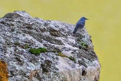 Passero solitario - (Monticola solitarius) - Un Passero solitario si gode il panorama affacciato su una roccia a strapiombo sul fiume Tago. La distanza era veramente tanta e il crop eccessivo a discapito della qualità. Questo scatto comunque resta come documentazione  di un incontro raro in un posto fantastico come il Salto del Gitano