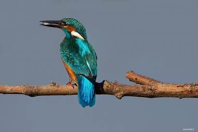Martin pescatore, Parco Nazionale del Circeo - (Kingfisher, National Park of Circeo, Italy)