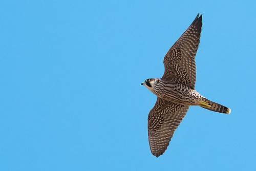 Falco pellegrino -(Peregrine Falcon)