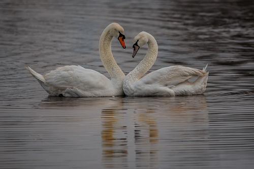 Cigni  - (Swans)