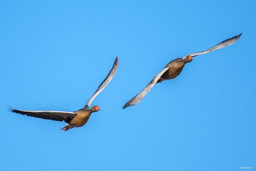 Oca selvatica - (greylag goose)
