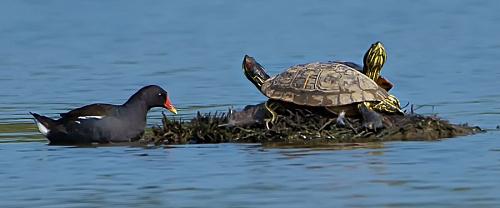 Gallinella e Tartaruga - (Moorhren end Turtle)