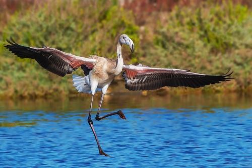 Fenicottero, Parco nazionale del Circeo - (Flamingo) National Park of Circeo, Italy