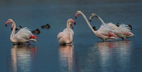Fenicottero, Parco Nazionale del Circeo - (Flamingo, National Park of Circeo, Italy)
